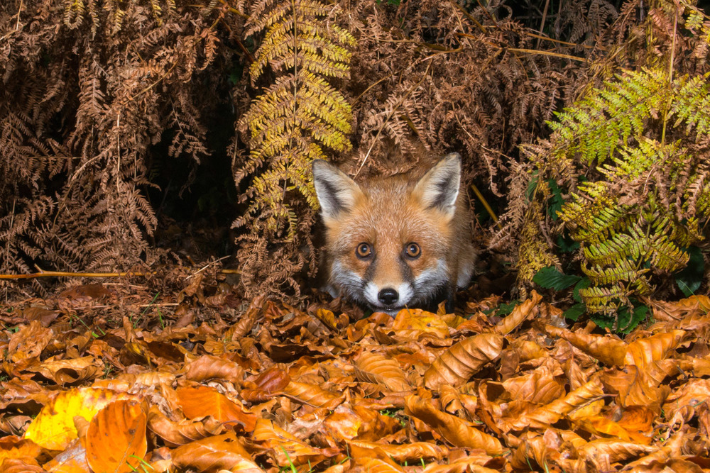 Red fox in autumnal bracken and beech leaves, Ashdown Forest, Sussex Weald, England