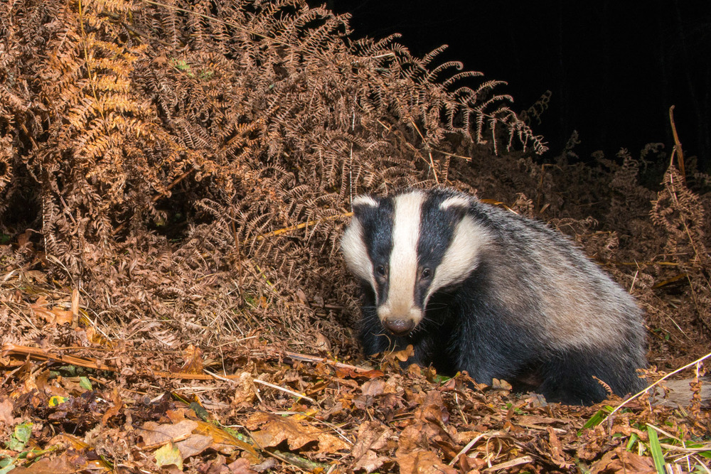 European badger in autumnal oak woods, Ashdown Forest, Sussex Weald, England