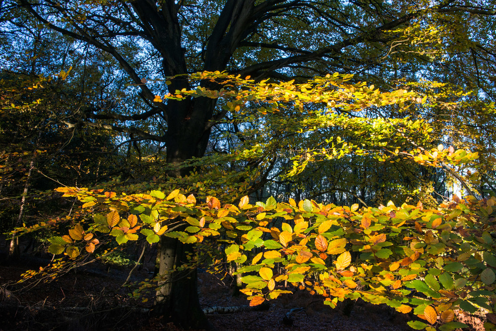 Beech woods in autumn, Ashdown Forest, Sussex Weald, England