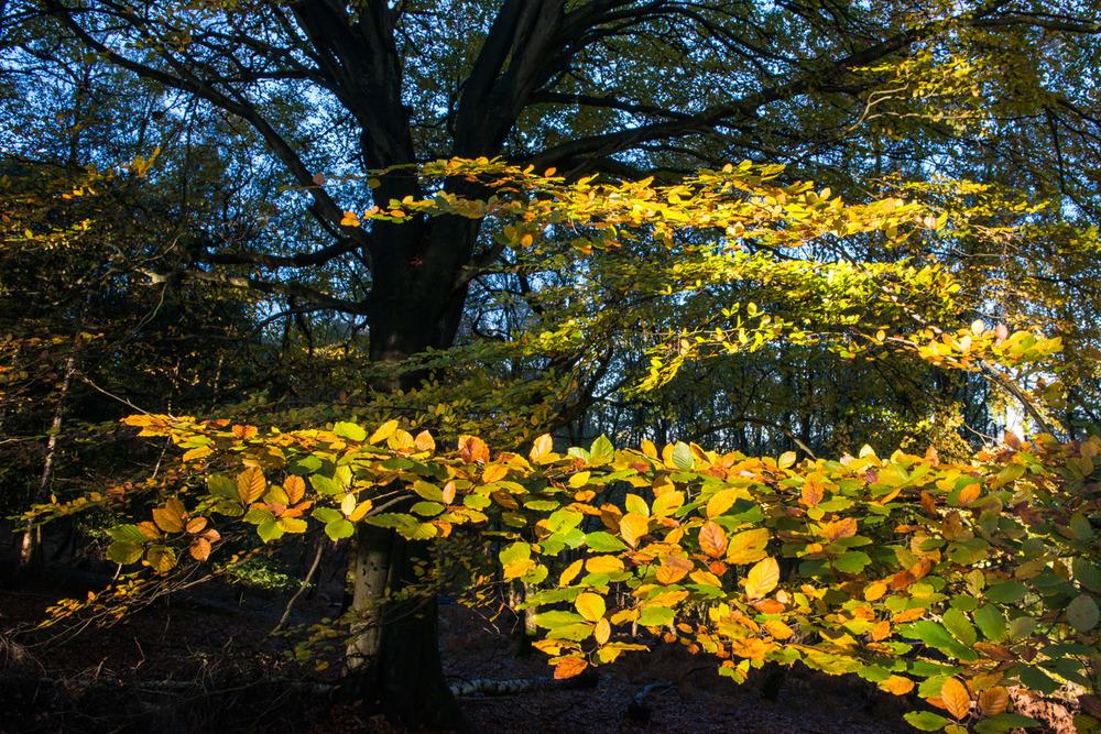 Beech woods in autumn, Ashdown Forest, Sussex Weald, England