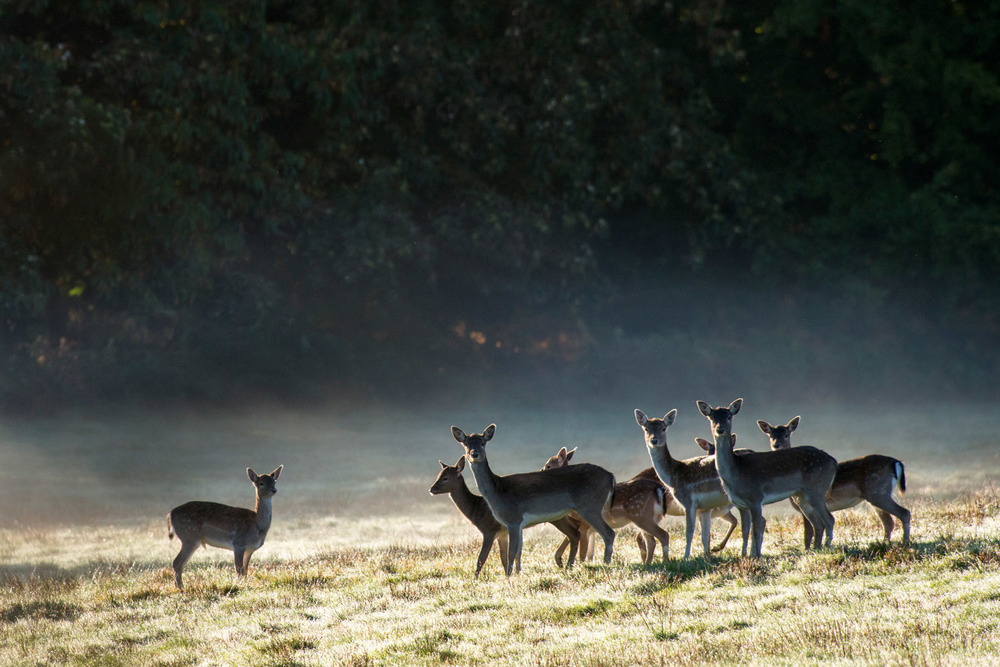 Fallow deer at dawn, Ashdown Forest, Sussex Weald, England