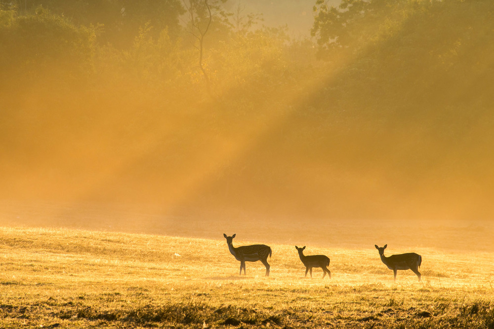 Fallow deer in dawn mist, Ashdown Forest, Sussex Weald, England