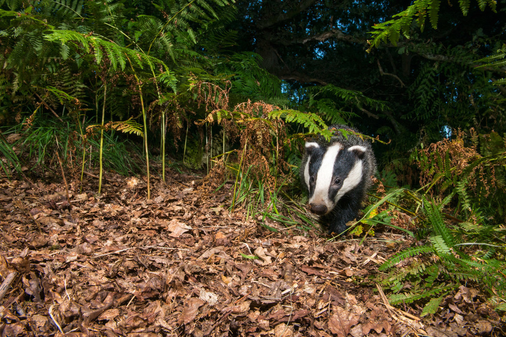 European badger in oak woods, Ashdown Forest, Sussex Weald, England