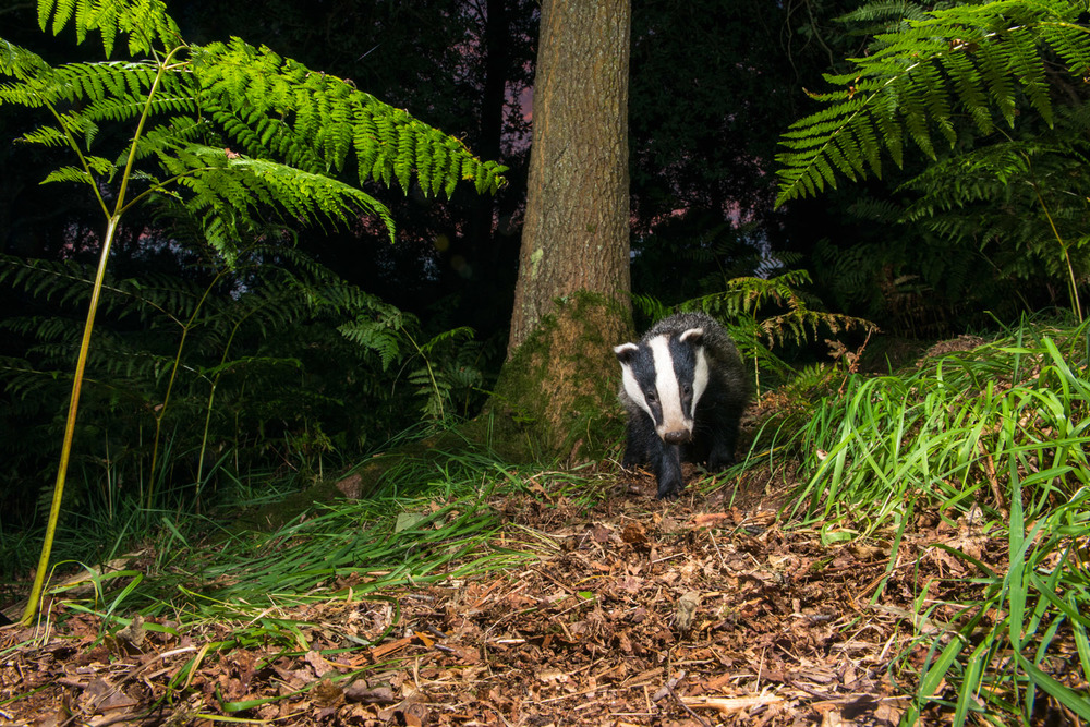 European badger walking through oak woods, Ashdown Forest, Sussex Weald, England