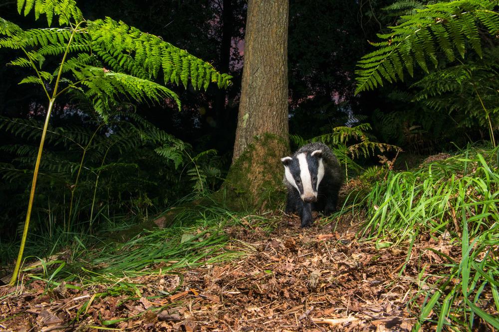 European badger walking through oak woods, Ashdown Forest, Sussex Weald, England