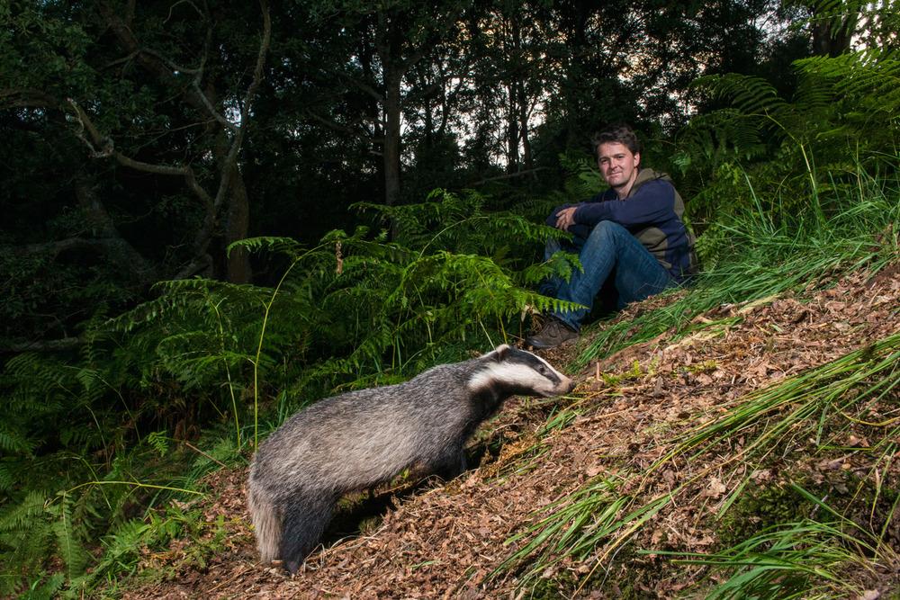 Man watching European badger in oak woods, Ashdown Forest, Sussex Weald, England