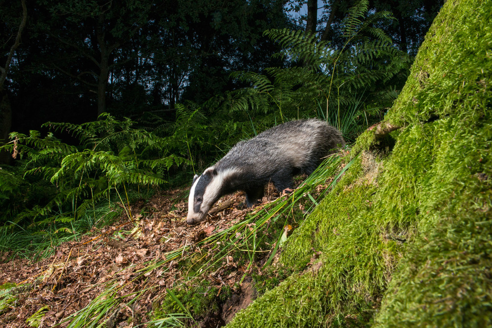 European badger in oak woods, Ashdown Forest, Sussex Weald, England