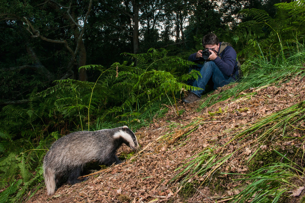 Man photographing European badger in oak woods at twilight, Ashdown Forest, Sussex Weald, England