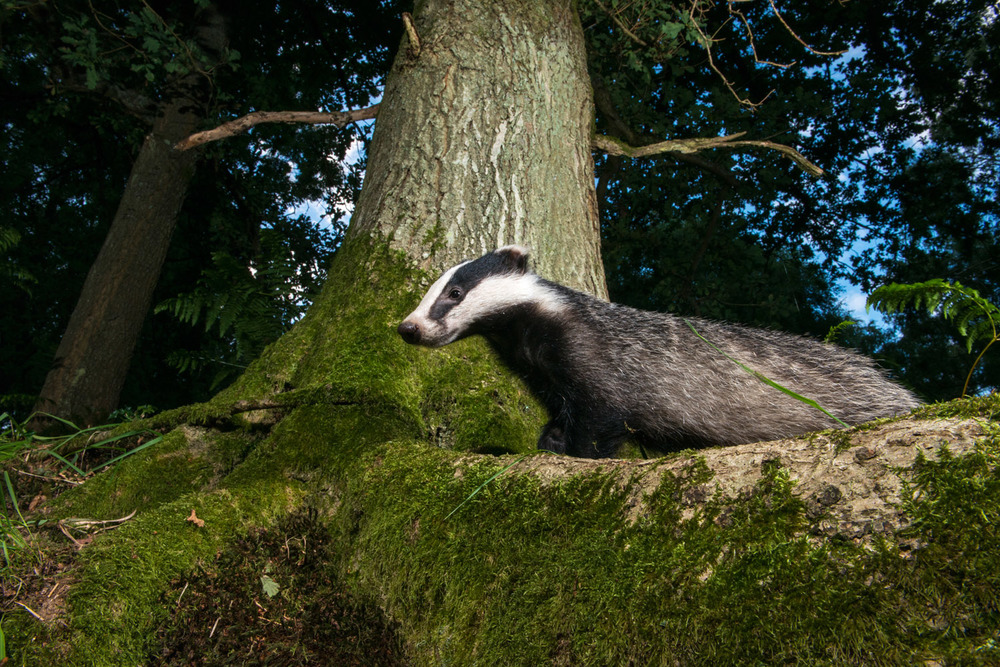 European badger in oak woods at twilight, Ashdown Forest, Sussex Weald, England