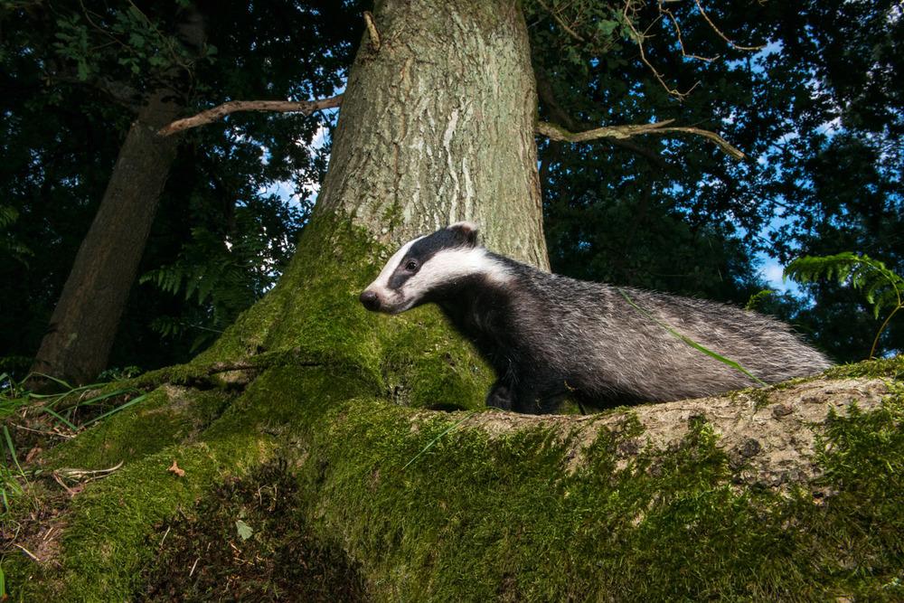 European badger in oak woods at twilight, Ashdown Forest, Sussex Weald, England
