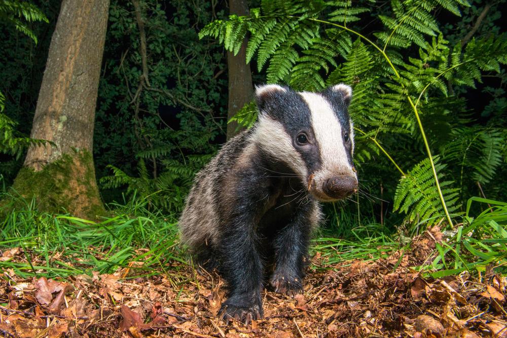 European badger cub in oak woods, Ashdown Forest, Sussex Weald, England