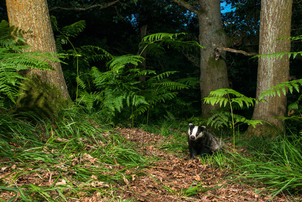 European badger cub in oak woods, Ashdown Forest, Sussex Weald, England