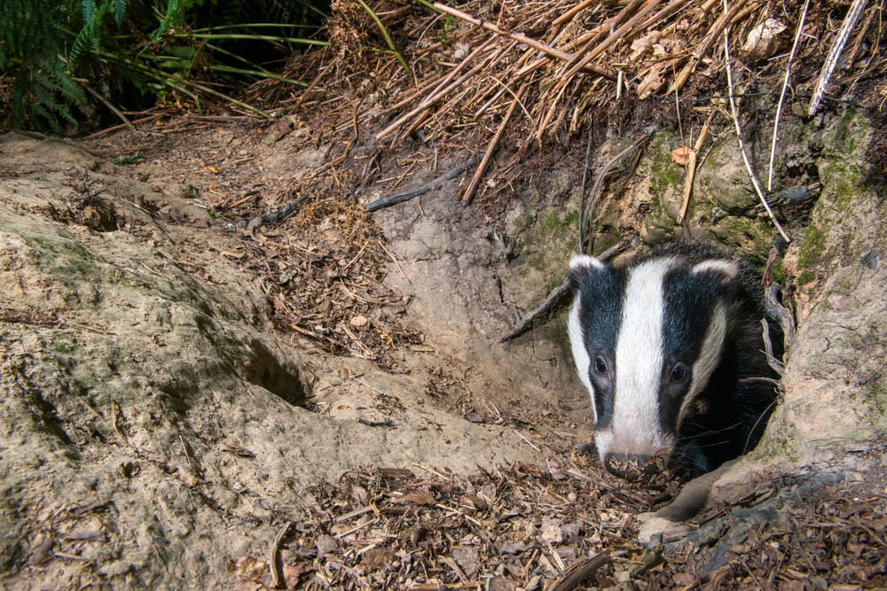 European badger cub at sett entrance hole, Ashdown Forest, Sussex Weald, England