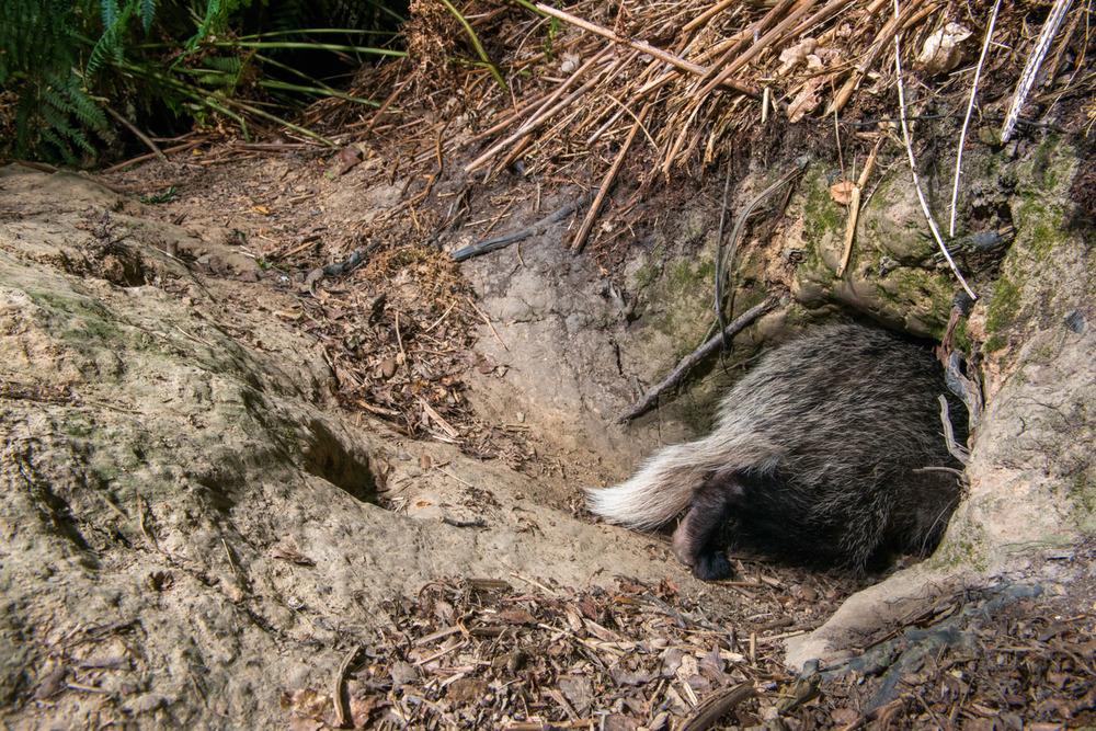 European badger cub entering sett, Ashdown Forest, Sussex Weald, England