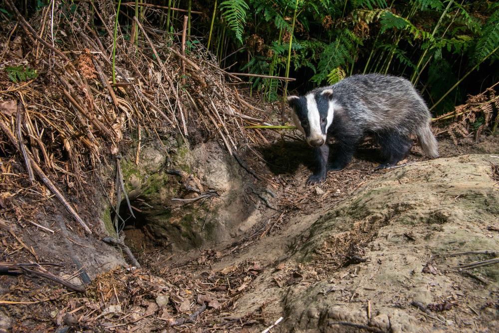 European badger cub returning to sett, Ashdown Forest, Sussex Weald, England