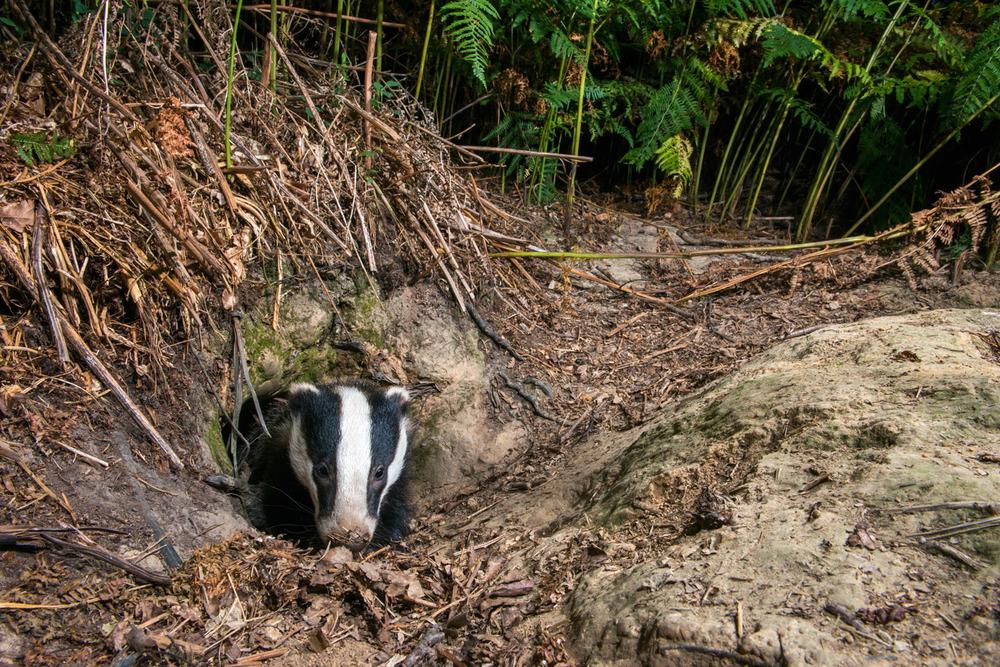 European badger cub at sett entrance hole, Ashdown Forest, Sussex Weald, England