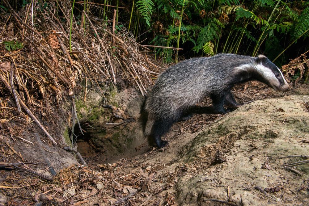 European badger cub leaving sett, Ashdown Forest, Sussex Weald, England