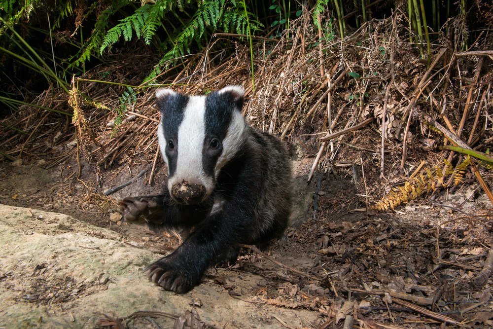 European badger cub resting by sett, Ashdown Forest, Sussex Weald, England