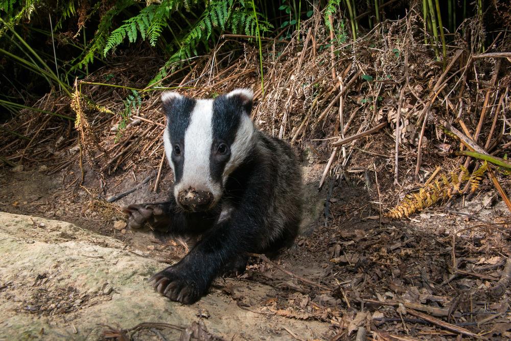 European badger cub resting by sett, Ashdown Forest, Sussex Weald, England