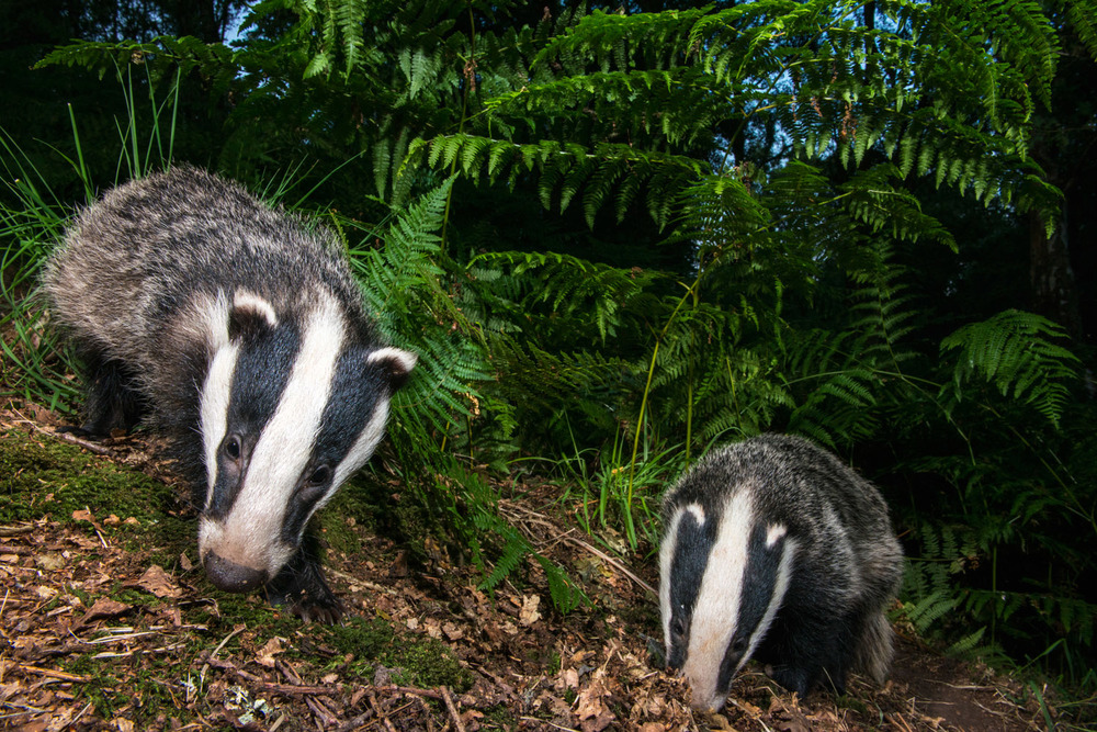 European badger cubs foraging in oak woods, Ashdown Forest, Sussex Weald, England