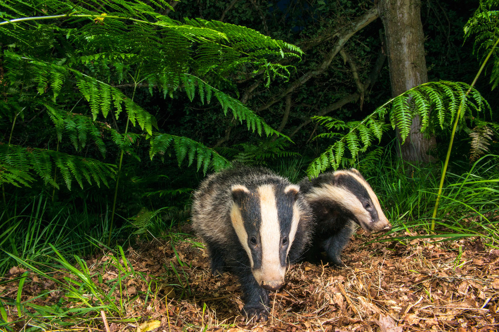 European badger cubs under bracken in oak woods, Ashdown Forest, Sussex Weald, England