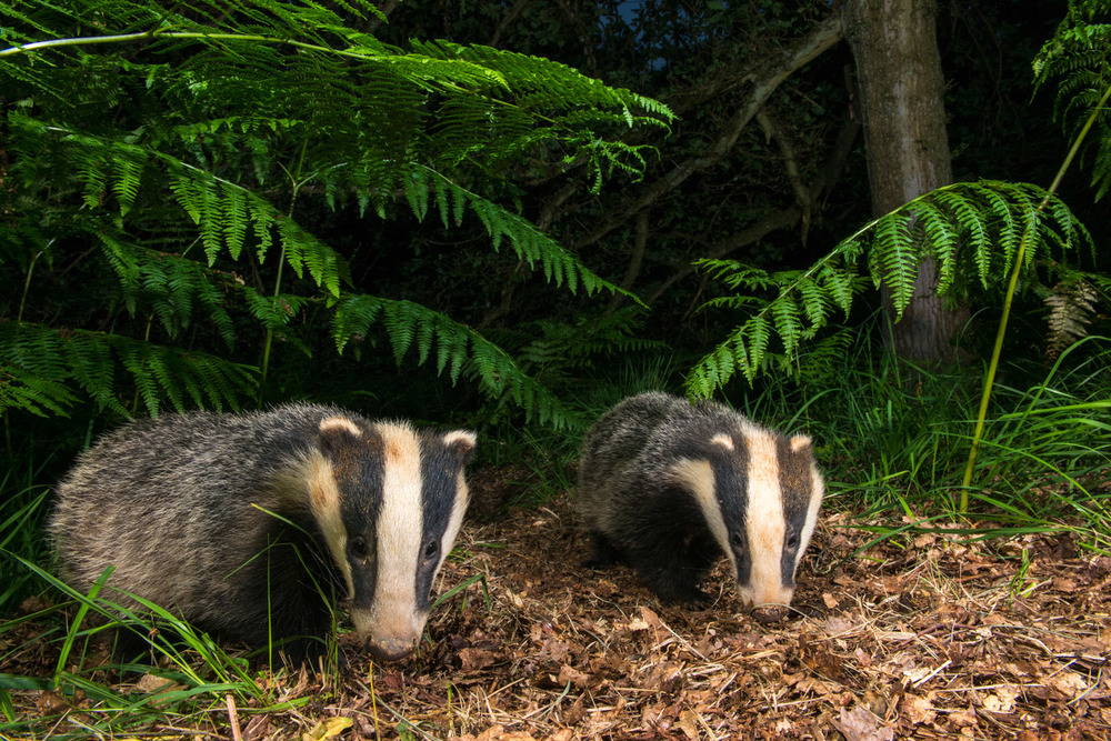 European badger cubs under bracken in oak woods, Ashdown Forest, Sussex Weald, England