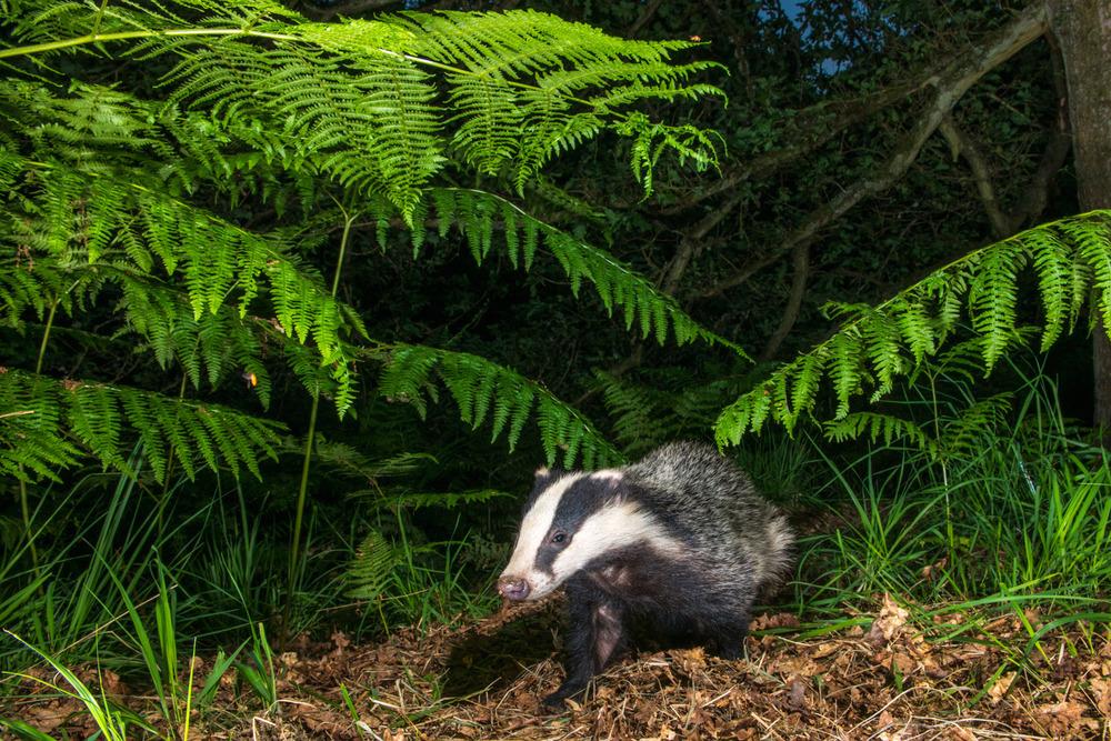 European badger cub under bracken in oak woods, Ashdown Forest, Sussex Weald, England