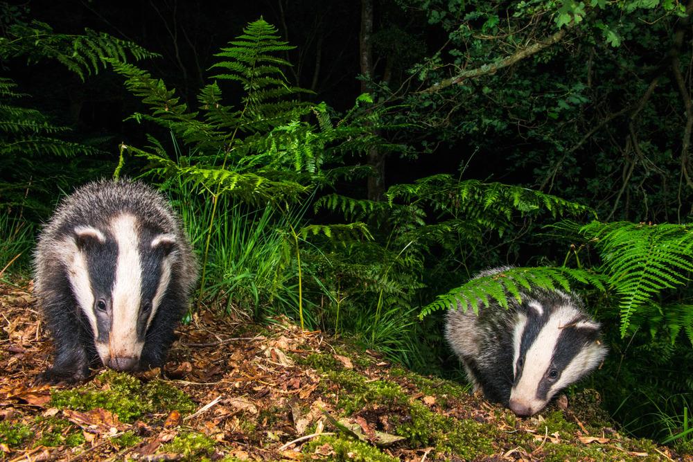 European badger cubs in oak woods, Ashdown Forest, Sussex Weald, England