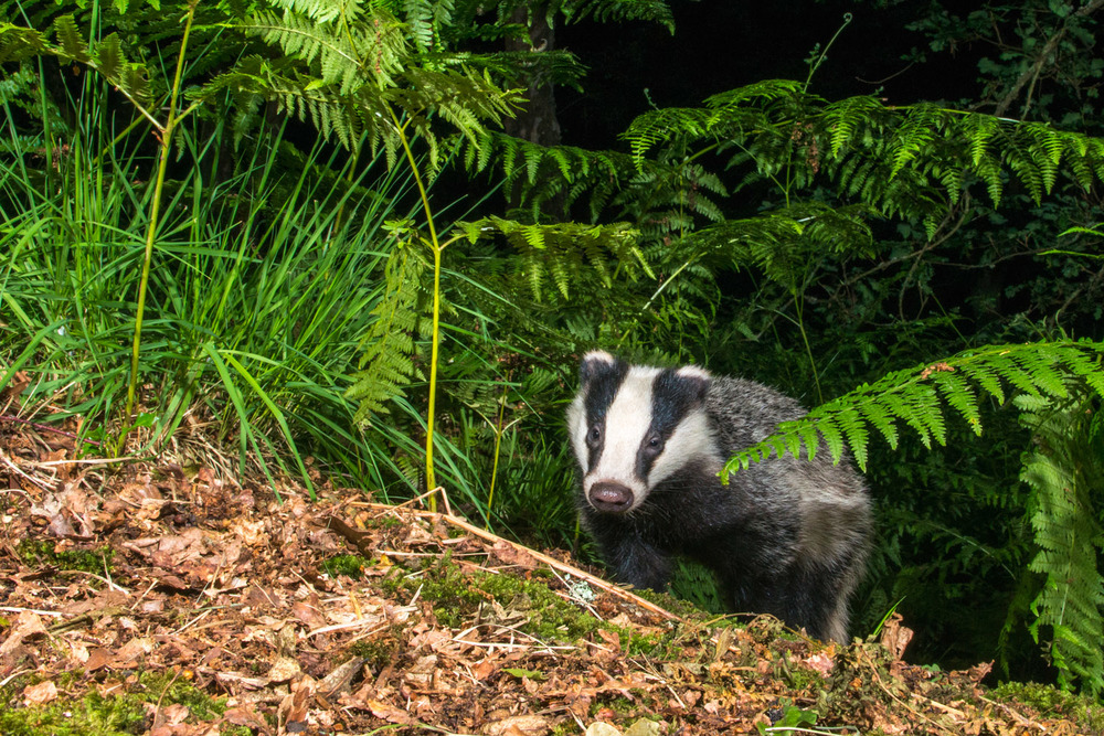 European badger cub emerging through bracken in oak woods, Ashdown Forest, Sussex Weald, England