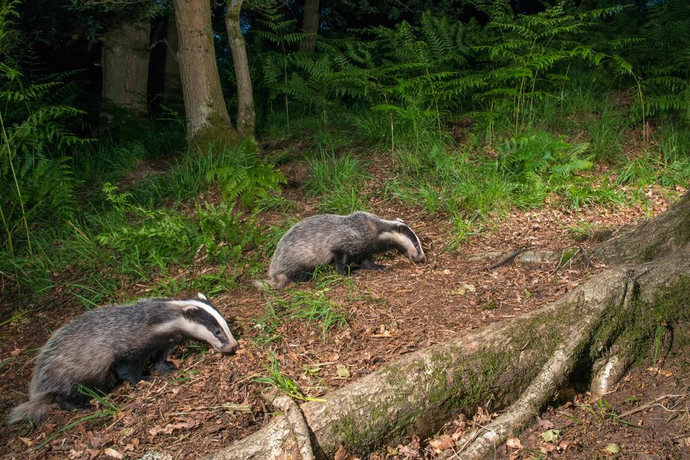 European badger cubs foraging in oak woods, Ashdown Forest, Sussex Weald, England
