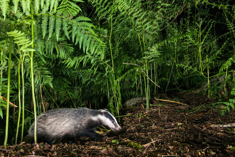 European badger cub and bracken, Ashdown Forest, Sussex Weald, England