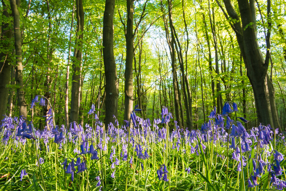Bluebells in beech woods, Sussex, England