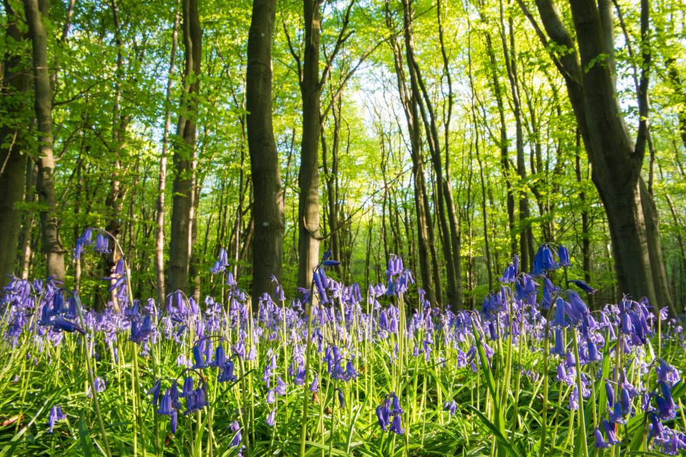 Bluebells in beech woods, Sussex, England