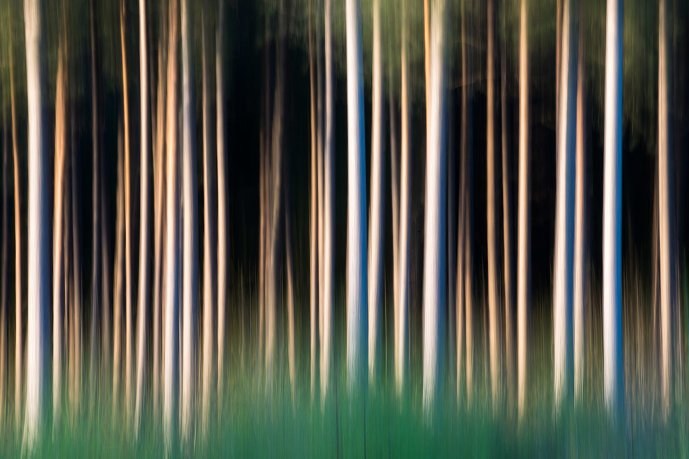 Silver birch saplings and Scots pine trunks, Sussex, England