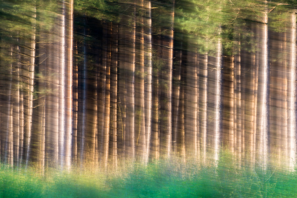 Silver birch saplings and Scots pines, Sussex, England