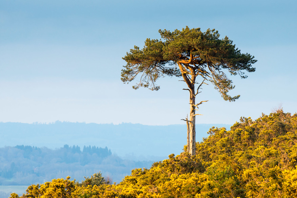 Scots pine in flowering common gorse, Ashdown Forest, Sussex Weald, England