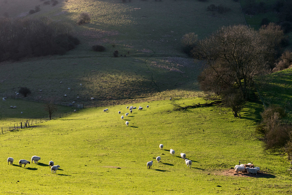 Sheep (mixed breeds) on South Downs, Sussex, England