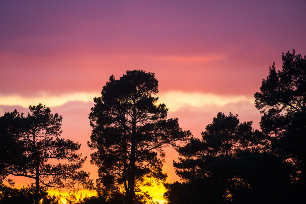 Scots pines at sunset, Ashdown Forest, Sussex Weald, England