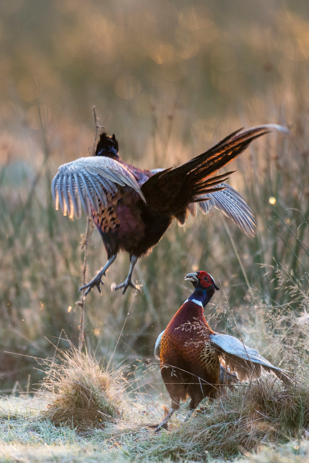 Pheasant cocks fighting at dawn, Ashdown Forest, Sussex Weald, England