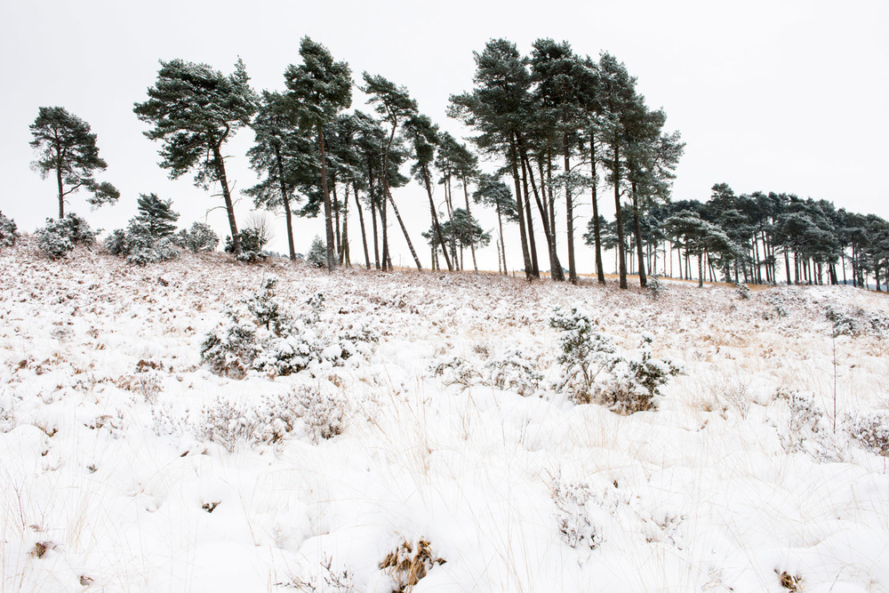 Stands of Scots pines and heathland after snowfall, Ashdown Forest, Sussex Weald, England