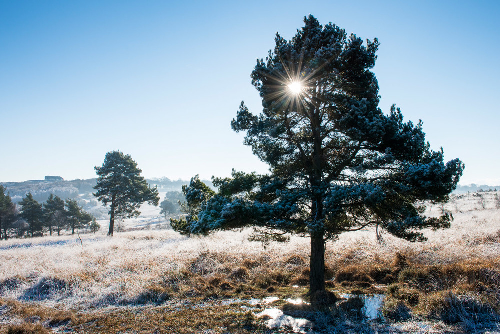 Scots pines and heathland with hoar frost, Ashdown Forest, Sussex Weald, England