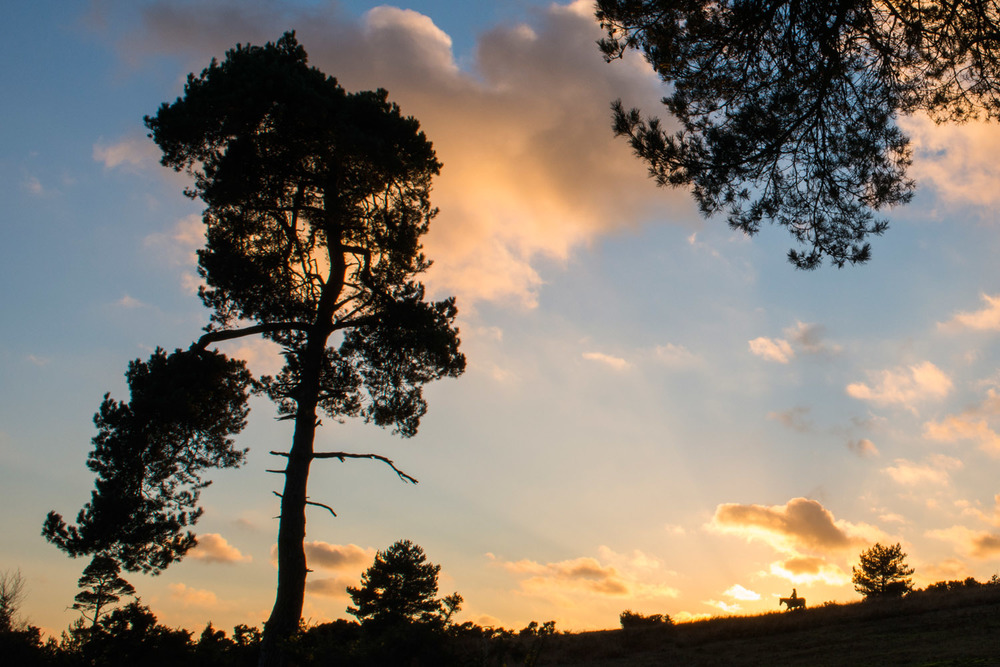 Scots pines and horse rider on horizon at sunset, Ashdown Forest, Sussex Weald, England
