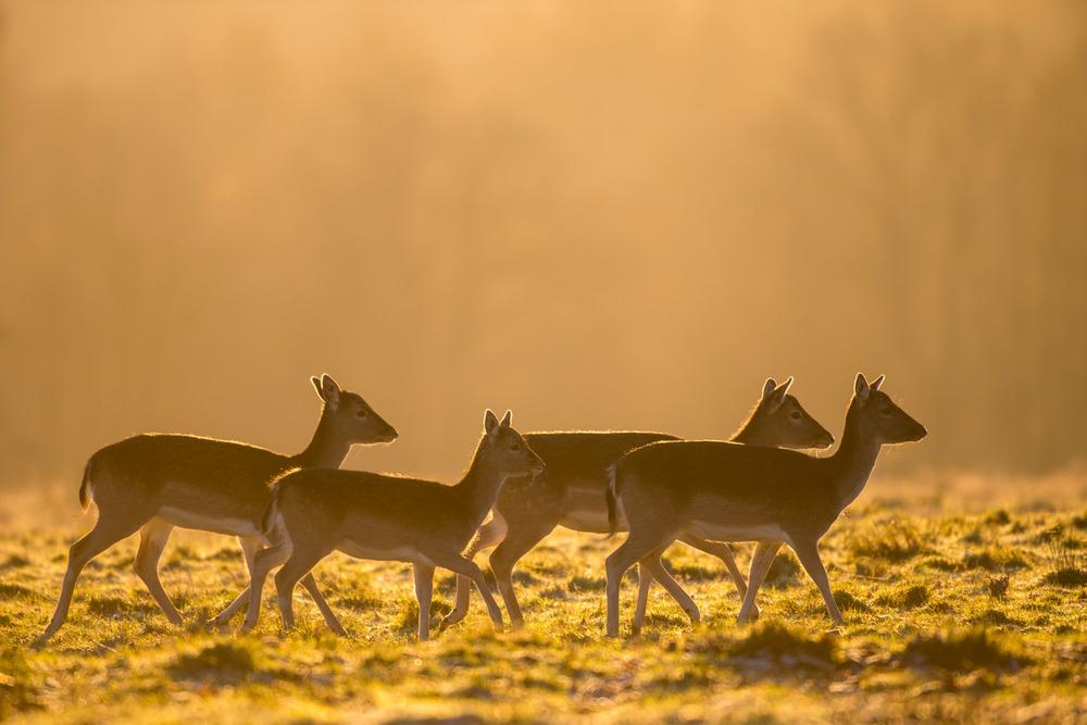 Fallow deer at dawn, Ashdown Forest, Sussex Weald, England