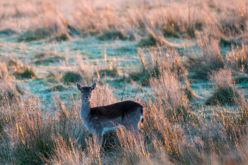 Fallow deer doe in a frosty meadow, Ashdown Forest, Sussex Weald, England