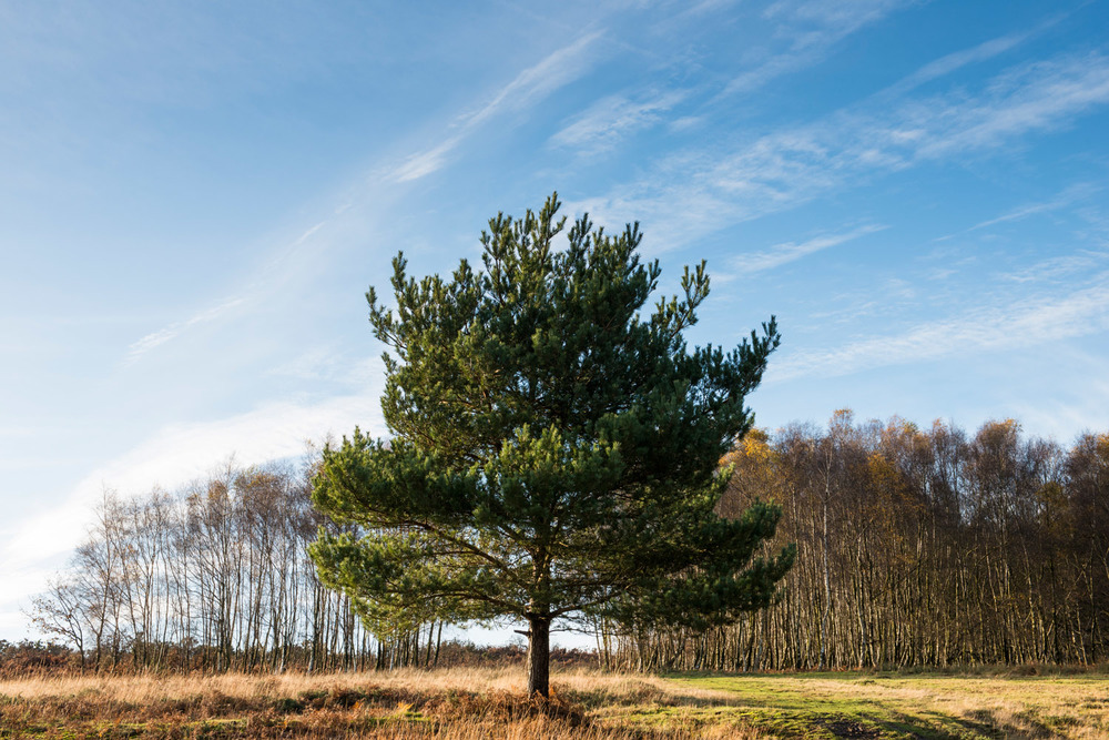 Scots pine and silver birch, Ashdown Forest, Sussex Weald, England