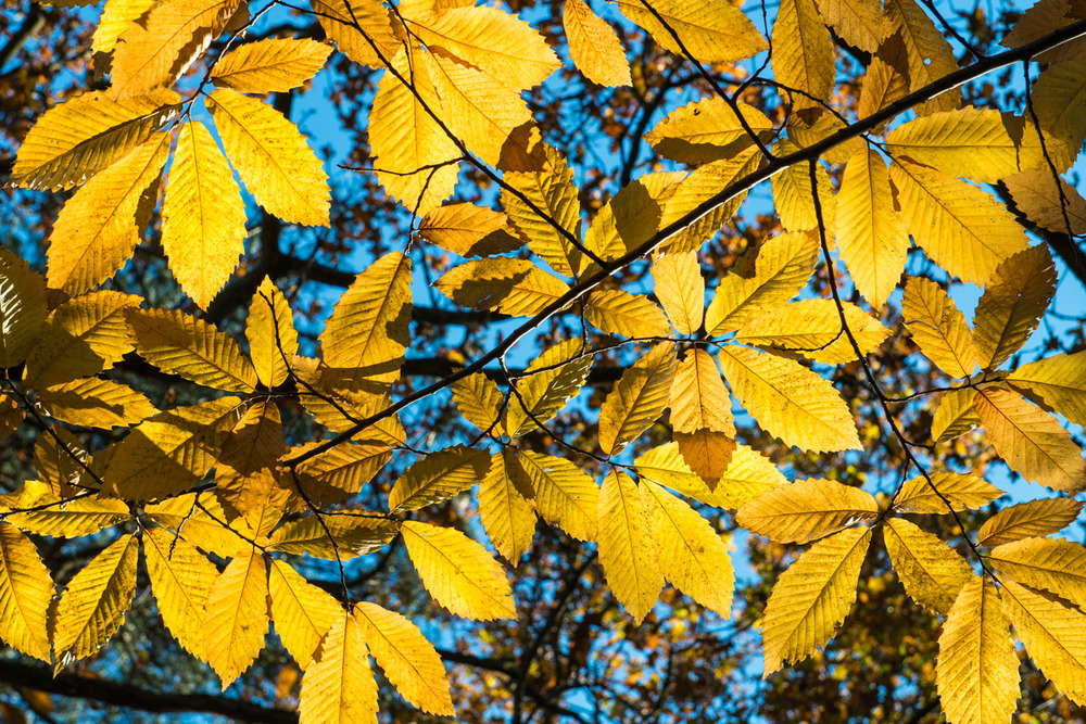 Autumnal sweet chestnut leaves, Ashdown Forest, Sussex Weald, England