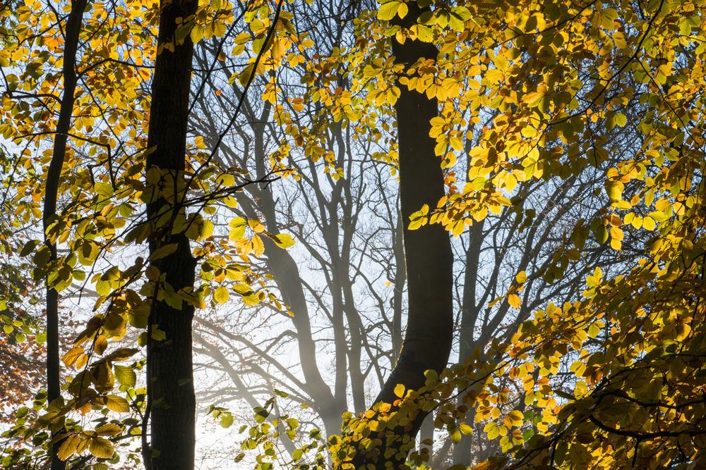 Autumnal beech woods at dawn, Ashdown Forest, Sussex Weald, England