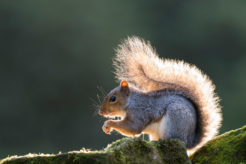 Grey squirrel on moss-covered sandstone, Ashdown Forest, Sussex Weald, England