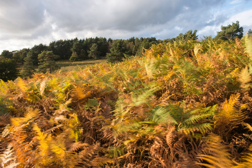 Autumnal bracken blowing in the wind and Scots pine forest, Ashdown Forest, Sussex Weald, England