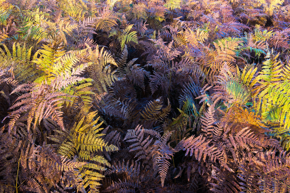 Autumnal bracken, Ashdown Forest, Sussex Weald, England